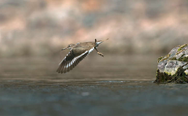 COMMON SANDPIPER IN FLIGHT