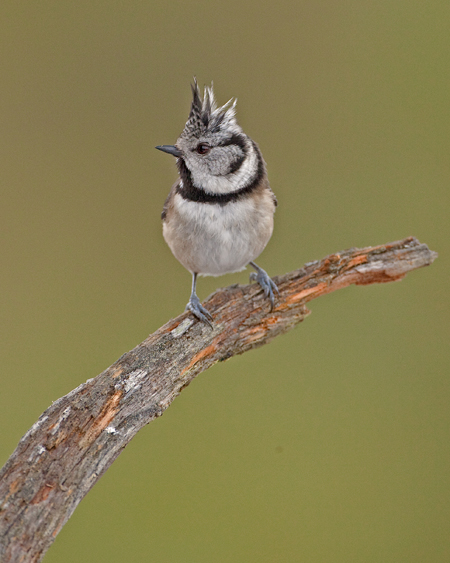 CRESTED TIT 2