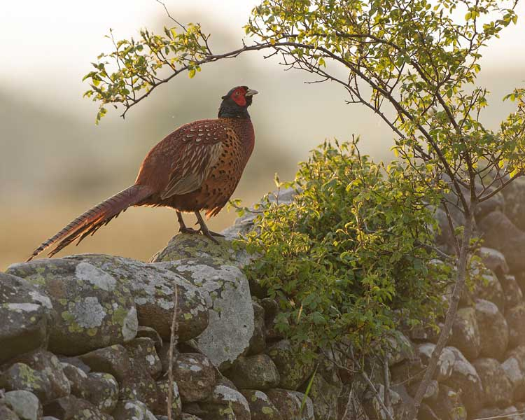Cock Pheasant in morning light