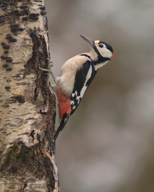Greater Spotted Woodpecker 007