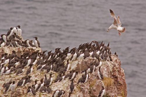 Herring Gull Hunting For Guillimot Chicks