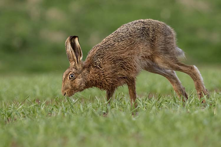 BROWN HARE APRIL 2017