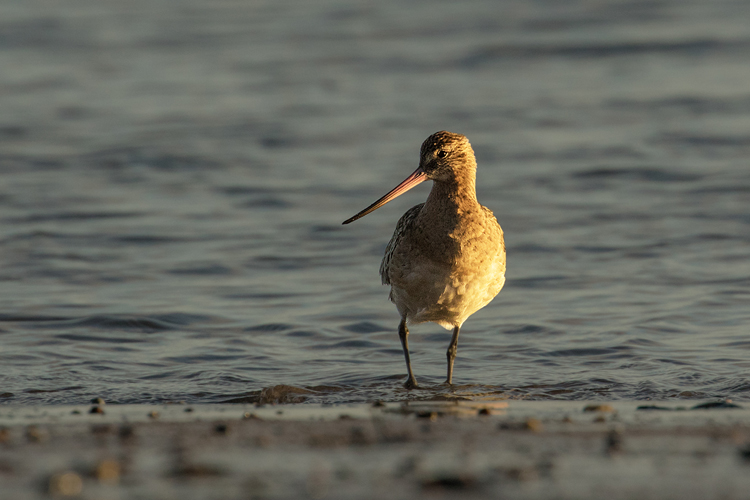 BAR TAILED GODWIT NOVEMBER 2017