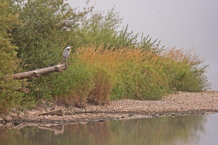 Heron on the Tweed