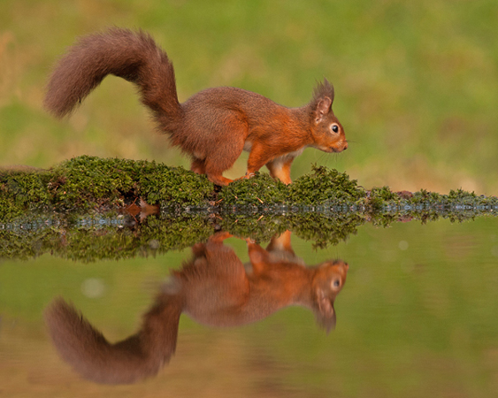 RED SQUIREL REFLECTION