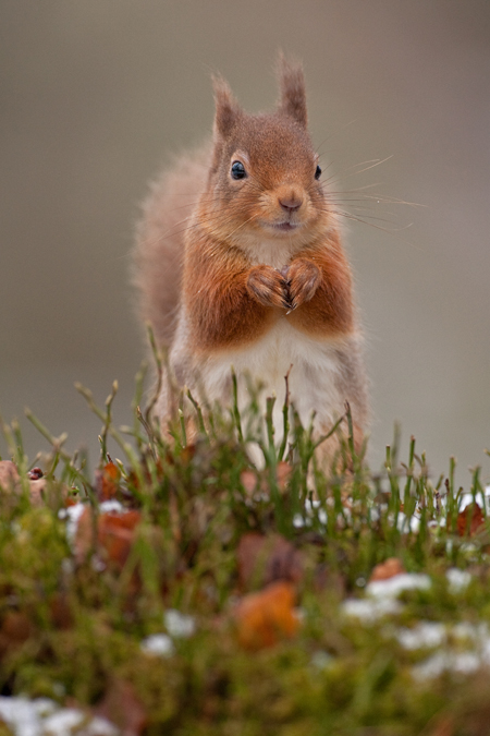RED SQUIRREL4