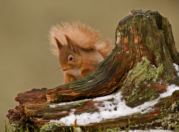 RED SQUIRREL6