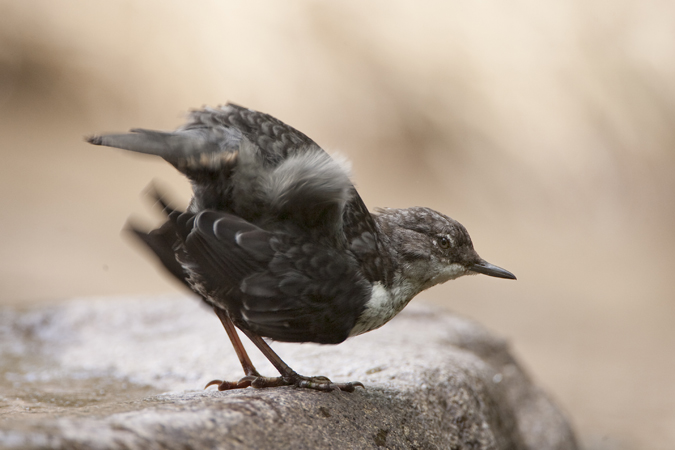 YOUNG DIPPER3