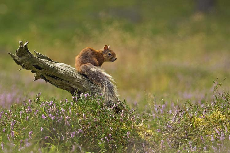 RED SQUIRREL AUGUST 2016