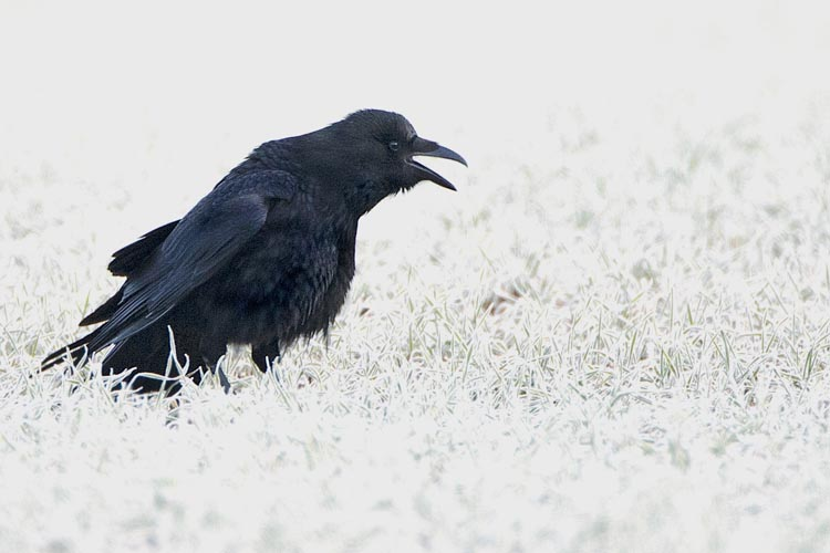 CARRION CROW MARCH 2016