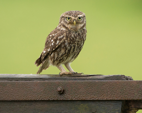 LITTLE OWL JUNE 2017