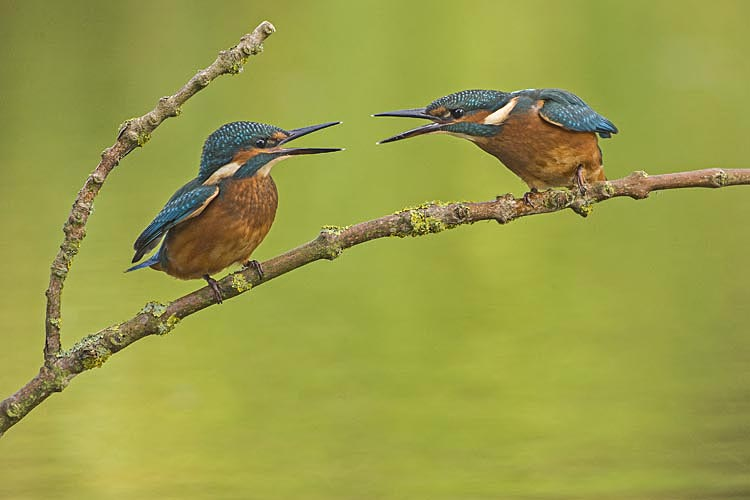 KINGFISHERS AUGUST 2016