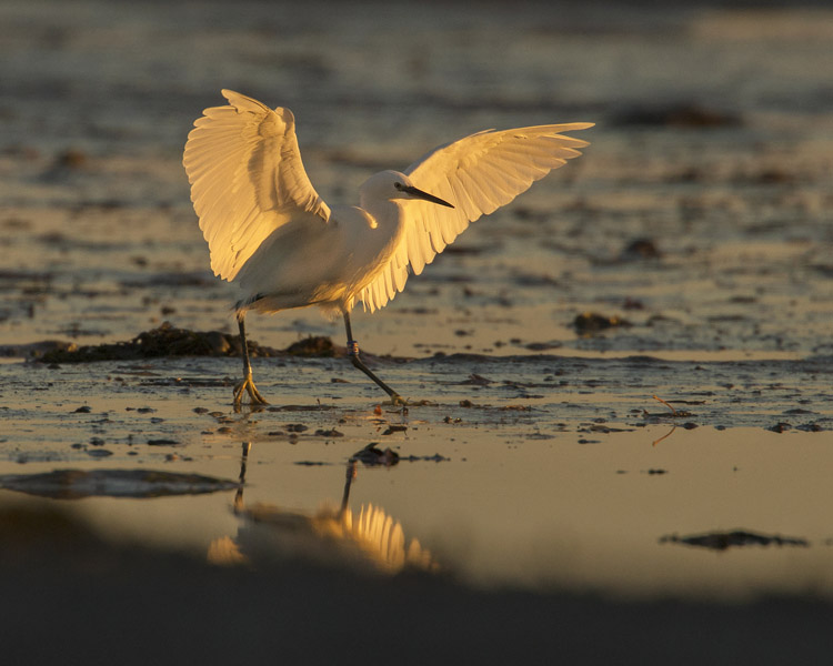 LITTLE EGRET NOVEMBER 2016