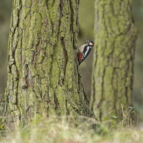 GREATER SPOTTED WOODPECKER DECEMBER 2016