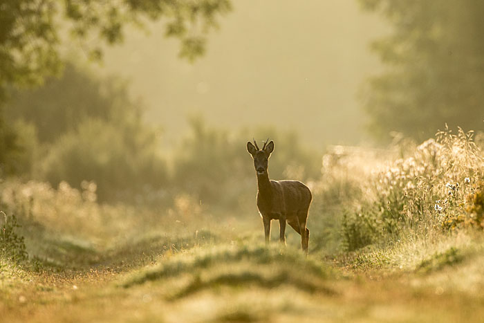 ROEBUCK AT DAWN AUGUST 2017