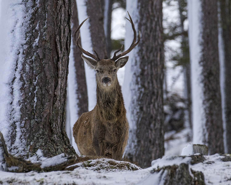 RED DEER STAG JANUARY 2017