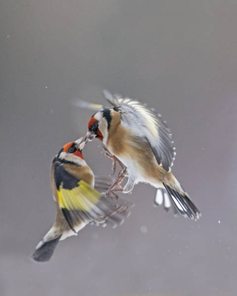 GOLDFINCHES JANUARY 2017