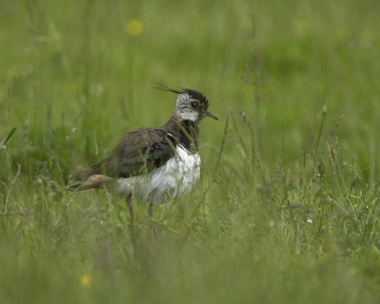 LAPWING JUNE 2016
