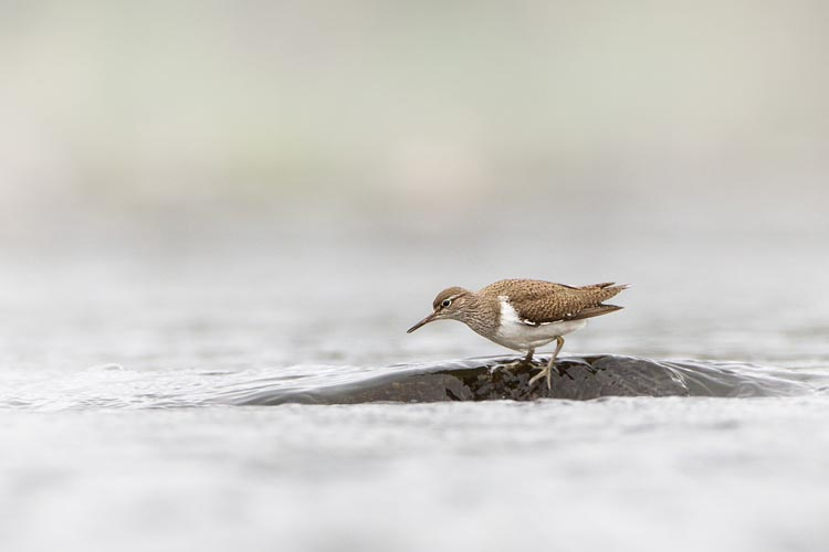 COMMON SANDPIPER APRIL 2017