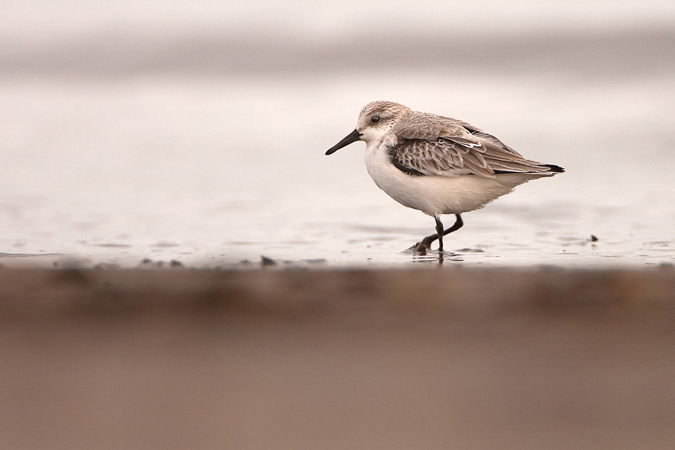 Sanderling on the shore March 2013