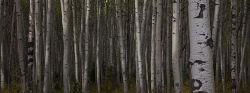 Aspen trees, Jasper National Park