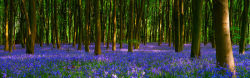 Micheldever Bluebells