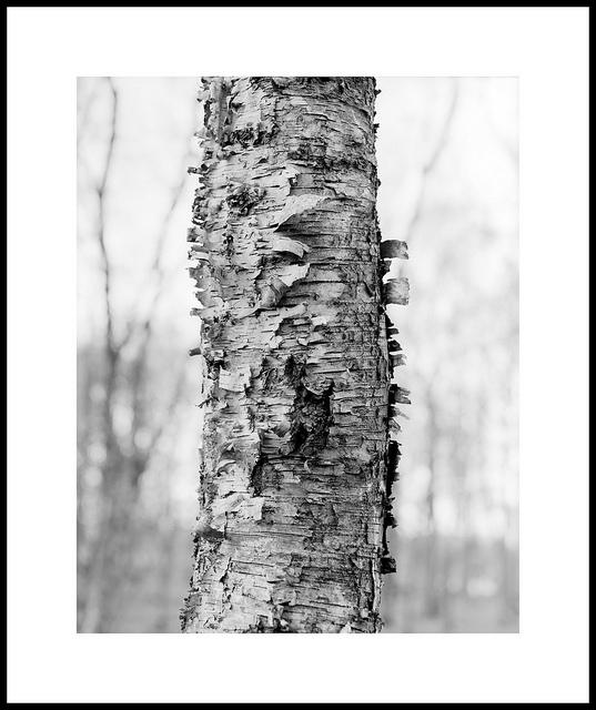 'Birch #5'