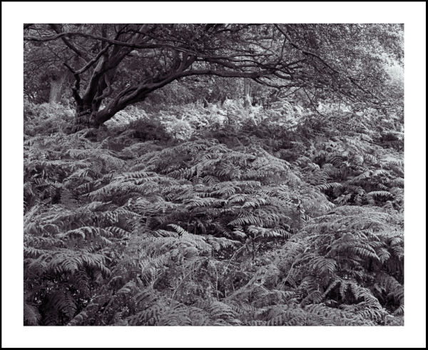 'Sea of Bracken'