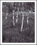 'Birch Trees at Skipwith'