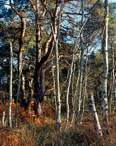 'Skipwith Common Woods'