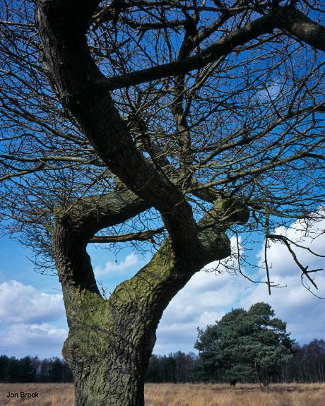 'Skipwith Tree'