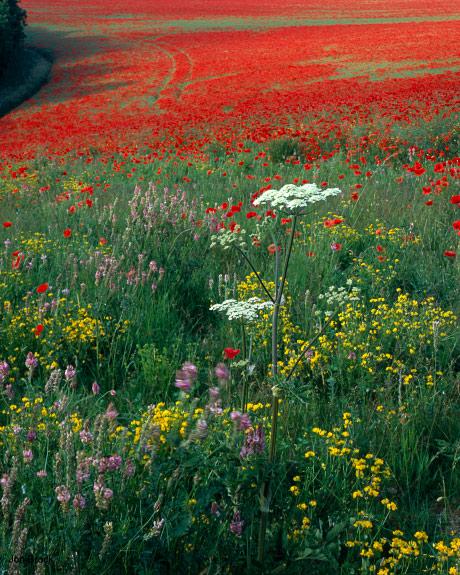 'Poppy Field'
