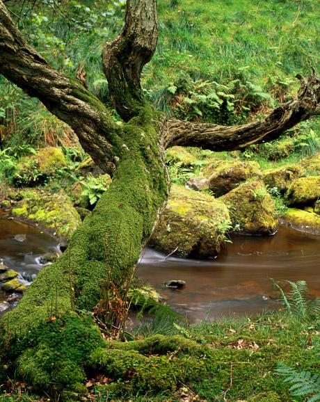 'Thomason Foss Tree'