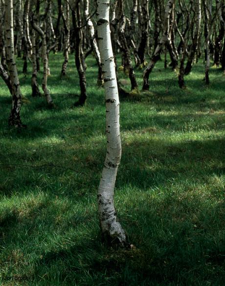 Padley Birch Trees