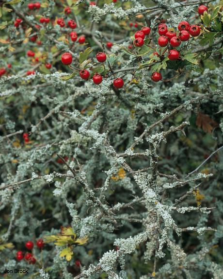 'Rusty Berries'