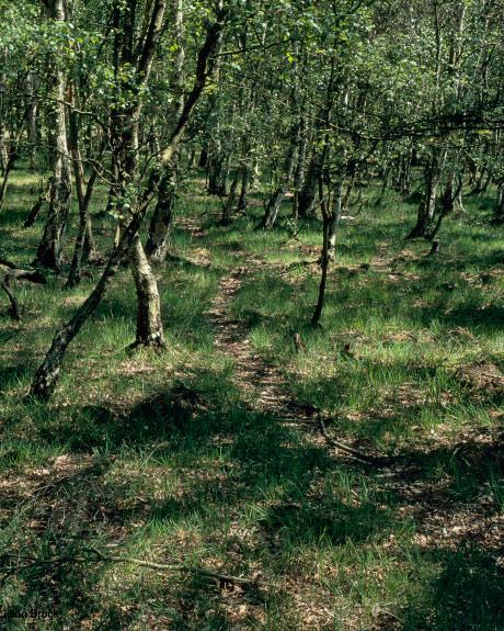 'Skipwith Birch Trees'