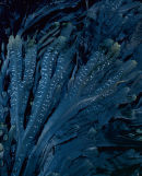 'Seaweed study'