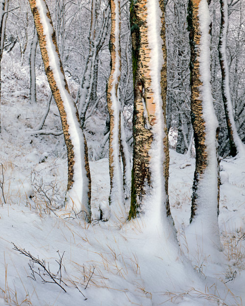 'Silver Birch in the Snow'