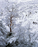 'Glen Etive Trees'