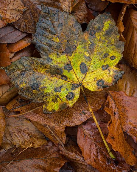 'Millington Leaf'