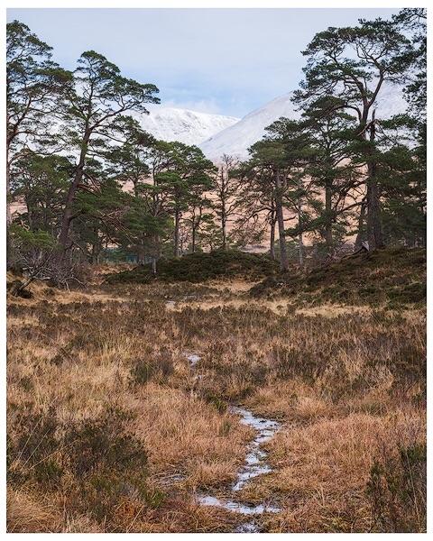 Pine Trees at Loch Tulla