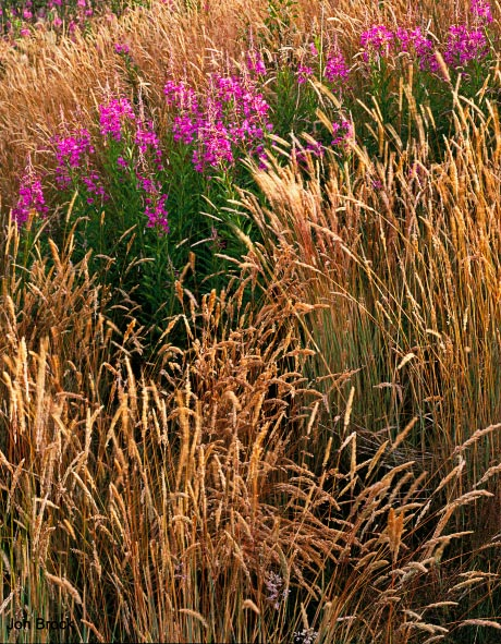 'Grasses and Fireweed'
