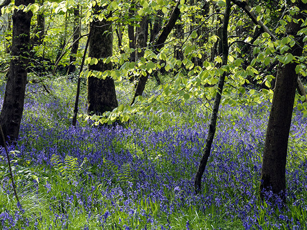 Bluebells Somerset