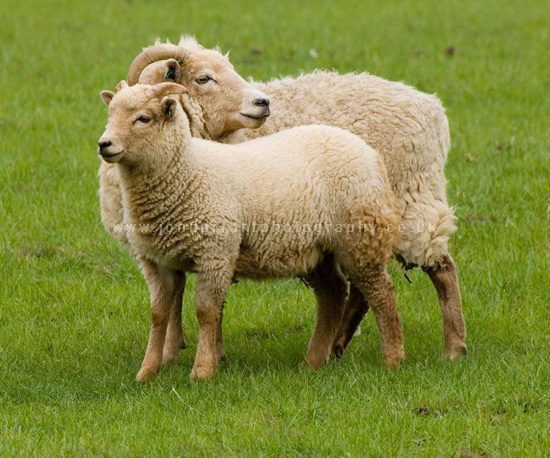 Portland Ewe & Lamb