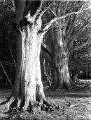 """""""Beech Trunks"""" - 1948"""
