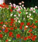 Garden Poppies, Dorset