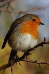 Robin at Leighton Moss