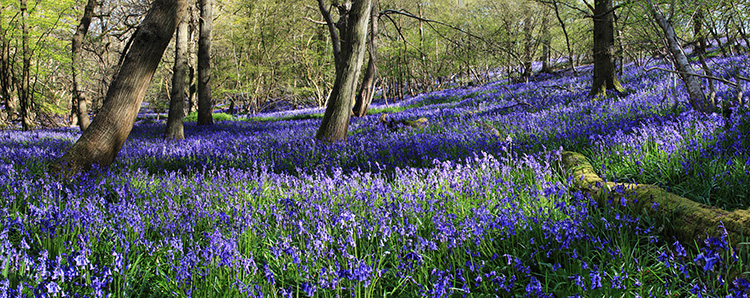 A Walk Amongst Bluebells