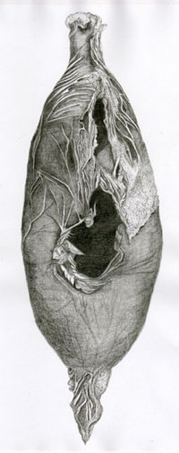 Drawings - specimens, cocoons, feathers