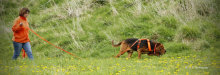 K9SD Forager  hot on the trail of a missing dog